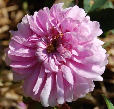 La fleur du rosier Zoé un rosier du groupe des centfeuilles moussues . Le rosier est visible à la roseraie de gérenton située à Bédoin dans le vaucluse au pied du Mont ventoux.