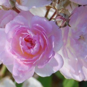 Les minuscules fleurs très élégante du rosier ancien Eléonore Berkeley
