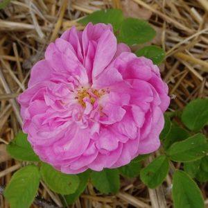 La fleur du rosier Laneii un rosier du groupe des centifolia muscosa. Le rosier est visible à la roseraie de gérenton située à Bédoin dans le vaucluse au pied du Mont ventoux.