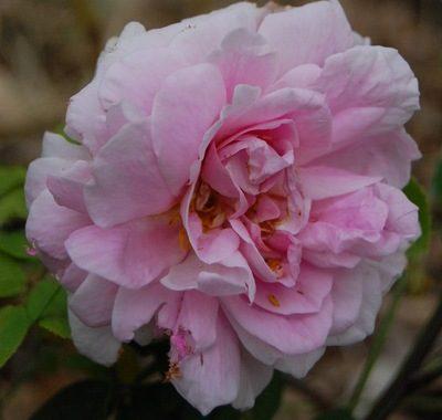 La fleur du rosier minette un rosier du groupe des Alba . Le rosier est visible à la roseraie de gérenton située à Bédoin dans le vaucluse au pied du Mont ventoux.