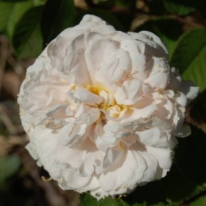 La fleur du rosier comtesse de Murinais un rosier du groupe des centfeuilles moussues . Le rosier est visible à la roseraie de gérenton située à Bédoin dans le vaucluse au pied du Mont ventoux.