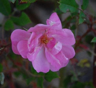 La fleur du rosier Bermuda Kathleen un rosier du groupe des chinensis? Le rosier est visible à la roseraie de gérenton située à Bédoin dans le vaucluse au pied du Mont ventoux.