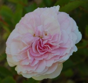 Pink prosperity en fleur rosier du groupe hybride de moschata