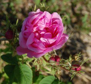 une rose de couleur rose en fleur dans la roseraie de Gérenton à Bédoin, il s'agit de la rose du rosier ancien professeur Emile Perrot