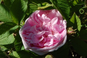 la rose rené d'Anjou rosier ancien du groupe centifolia muscosa