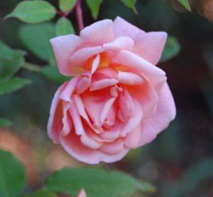 le rosier ancien orangé arethusa en fleur à la roseraie de Gérenton