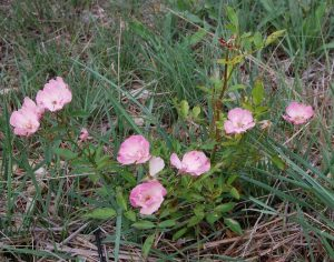 le rosier petit buisson bengale pakistan en fleur dans la roseraie de Gérenton