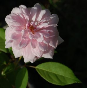 la rose ouverte du rosier ancien bloomfield abundance