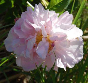 Celsiana en fleur dans la roseraie de Gérenton à Bédoin
