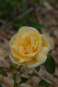le rosier danae rosier jaune dans la roseraie de Gérenton