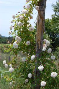 Le rosier félicité et perpétue qui grimpe sur une structure en bois à la roseraie de Gérenton dans le vaucluse à Bédoin