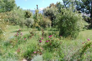 à l'avant plan on voit le rosier ancien en buisson roses de rescht à la roseraie de gérenton située à Bédoin