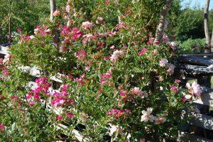 Le rosier mozart en fleur dans la roseraie de Gérenton à Bédoin au pied du mont ventoux