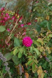 Le rosier buisson la rose de rescht en fleur dans la roseraie de Gérenton à Bédoin dans le Vaucluse