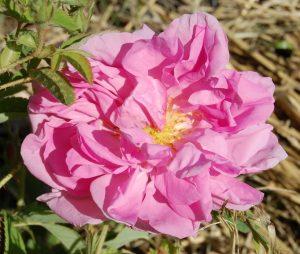 rosa damascena du Dadès en fleur rosier ancien de damas