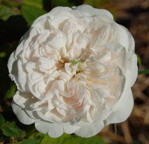 Le rosier blanc Mme Hardy en fleur dans la roseraie de Gérentonà Bédoin