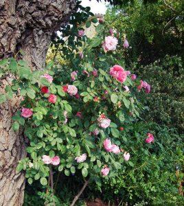 un rosier grimpant en fleur contre le tronc d'un murier