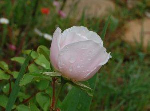 La fleur presque ouverte du rosier souvenir de Sainte Anne's
