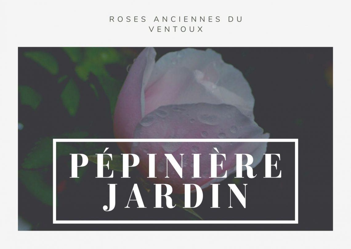 la rose souvenir de sainte annesPépinière jardin