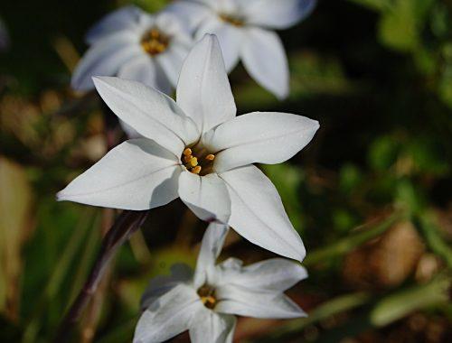 premières fleurs de printemps roses coronavirus roseraie de gérenton au printemps