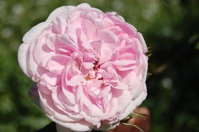 la rose du rosier ancien Fantin Latour en fleur. Rosier ancien de la famille des centfeuilles ou du groupe des centifolias