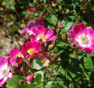 le rosier ancien mozart du groupe hybride de moschata. le rosier mozart a des petites fleurs roses au coeur blanc