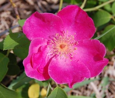 le rosier Vanity en fleur dans la roseraie de Gérenton à Bédoin