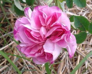 Le rosier Blush Hip en fleur dans la roseraie de Gérenton à Bédoin au pied du Mont ventoux