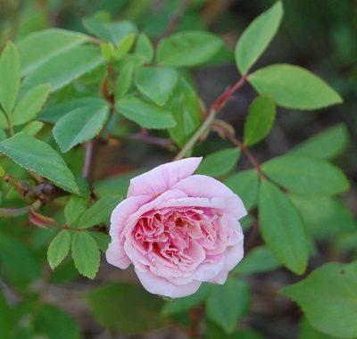 le rosier grimpant cécile brunner climbing de la famille des chinensis en fleur
