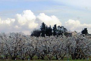 les cerisiers en fleurs à la roseraie de Gérenton à Bédoin dans le vaucluse, les fleurs blanches des cerisiers comme si on était au japon mais on est à bédoin dans le mont ventoux. les roses ne sont pas encore en fleurs mais les cerisers, les orchys les crépis ouvrent le festival du printemps