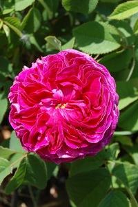 la rose ancienne charles de mills en fleur