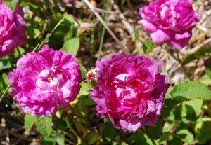 le rosier delambre rosier ancien de la famille des damascena, les célébres roses de damas. le rosier est en fleur il a une couleur violine