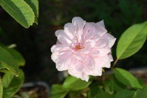 la rose très double du rosier félicité et perpétue