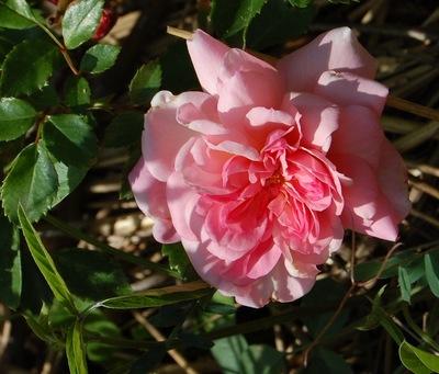 un rosier grimpant avec de grandes fleurs roses qui fanent en se chiffonant un peu. le rosier a des tiges assez souples et peut être utilisé en rosier couvre-sol