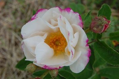 La fleur du rosier Hebes Lip est blanche au bord rose avec des boutons roses