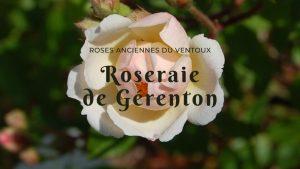 Le rosier trier en fleur dans la roseraie de Gérenton