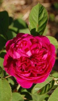 la rose de rescht en fleur