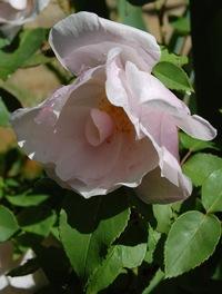la rose du rosier ancien souvenir de sainte's Anne du groupe des roses bourbon en fleur dans la roseraie de Gérenton à Bédoindans le Vauclus au pied du Mont Ventoux