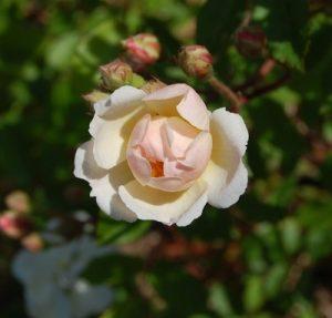 La fleur du rosier ancien trier. Une fleur blanches pour ce rosier ancien du groupe des hybrides de moschata