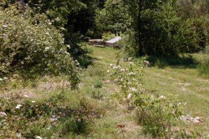 rosier à l'entrée de la roseraie