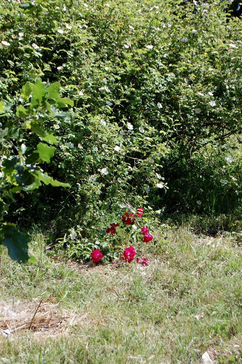un rosier ancien de couleur rouge au pied du rosier botanique rosa canina tomentella