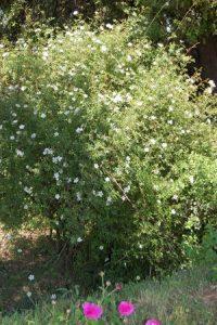 rosa agrestis et le rosier duc de cambridge à la roseraie de Gérenton à Bédoin
