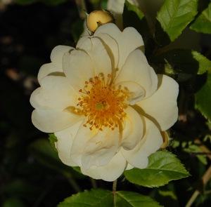 rosa helenae en fleur à la roseraie de gérenton à Bédoin dans le vaucluse
