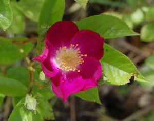 prince regent un rosier ancien visible à la roseraie de gérenton à Bédoin