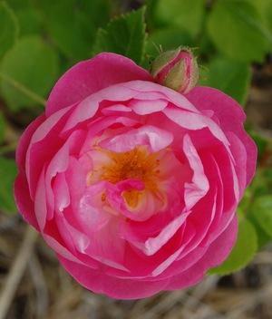 La fleur du rosier Raubritter , visible à la roseraie de Gérenton à Bédoin