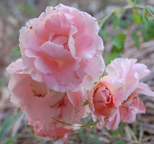 le rosier andenken an alma de l'aigle en fleur à la roseraie de gérenton à Bédoin