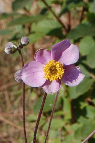 l'anémone du Japon est en fleur à la roseraie de gérenton à Bédoin en provence