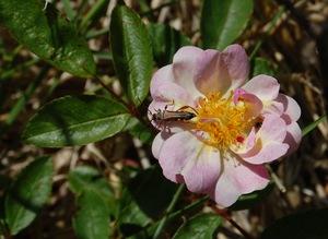 La fleur du rosier Queen of the Musks , un hybride de Moschata , visible à la roseraie de Gérenton à Bédoin