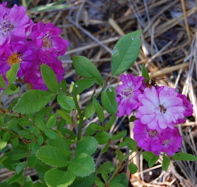 le rosier raymond privat en fleur à la roseraie de gérenton, une floraison violette pour ce petit polyantha