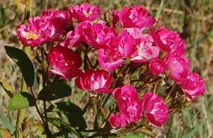 La fleur du rosier Robin Hood , un hybride de Moschata , visible à la roseraie de Gérenton à Bédoin